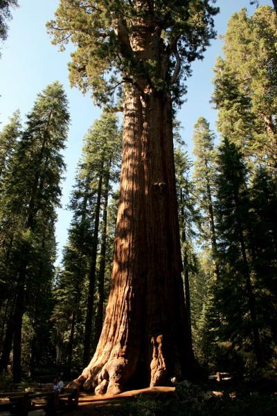 Крупнейшее в мире дерево – дерево генерала Шермана высотой 83,8 метров. На момент 2002 года объем его ствола составлял 1487 кубических метров. Дерево находится в национальном парке Секвойя в Калифорнии. Дереву около 2300 – 2700 лет. Фото с сайта: bigpicture.ru