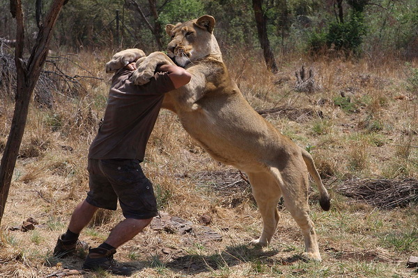 Кевин Ричардсон играет с львицей. «Просто не понимаю, как люди могут стрелять в львов в закрытом пространстве, откуда он не сможет убежать», – говорит «заклинатель львов».  Фото: Denis Farrell/ AP Photo