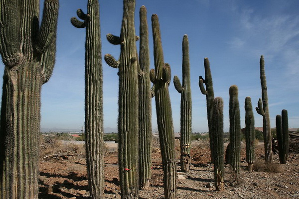 До 30 лет сагуаро не торопится с ростом и достигает максимум пару метров в высоту. Но вот потом, растение прямо преображается и добавляет почти сантиметр роста каждую неделю. При таком темпе к 70 годам кактус становится похож на высокое колючее дерево с толстыми ветками. Фото с сайта: bigpicture.ru