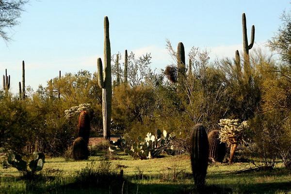 Парк Сагуара находится на юге Аризоны на территории пустыни Сонора. Фото с сайта: bigpicture.ru