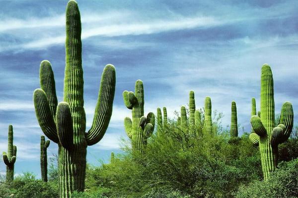 В Парке кроме гигантской карнегии, можно найти еще около 50 видов кактусов и более 2 000 видов других растений. Не зря Сонора считается самой зеленой пустыней на Земле. Фото с сайта: bigpicture.ru