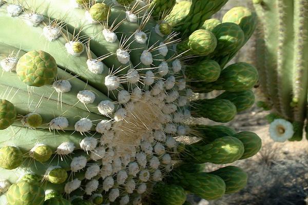 До 1978 года самым высоким кактусом на Земле считался сагуаро, высота которого достигала 24 метра. Но самый высокий кактус был повален бурей. Фото с сайта: bigpicture.ru