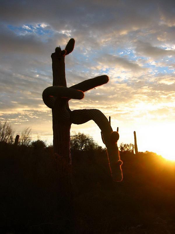 После 30-летнего возраста сагуаро начинают ветвиться. При этом, форма их может быть очень необычной и напоминать вилку, руку с растопыренными пальцами, щупальца, веер, необычное животное или даже танцующего человека. Фото с сайта: bigpicture.ru