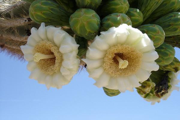 Период цветения у сагуаро приходится на конец весны – начало лета. Фото с сайта: bigpicture.ru