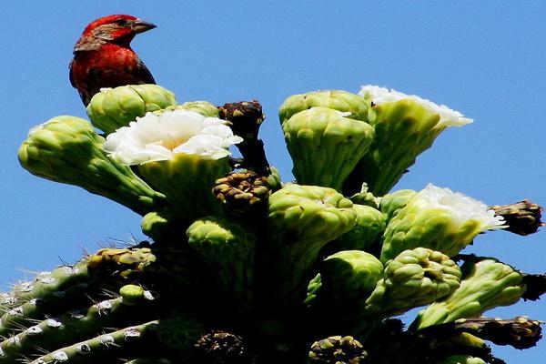 Цветы настолько огромные, что между их тычинками птицы часто свивают гнезда. Фото с сайта: bigpicture.ru