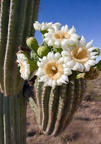 В цветке этого кактуса рекордное количество тычинок – 3480! Это очень много, особенно, если знать, что у других растений их обычно от одной до нескольких десятков. Фото с сайта: bigpicture.ru