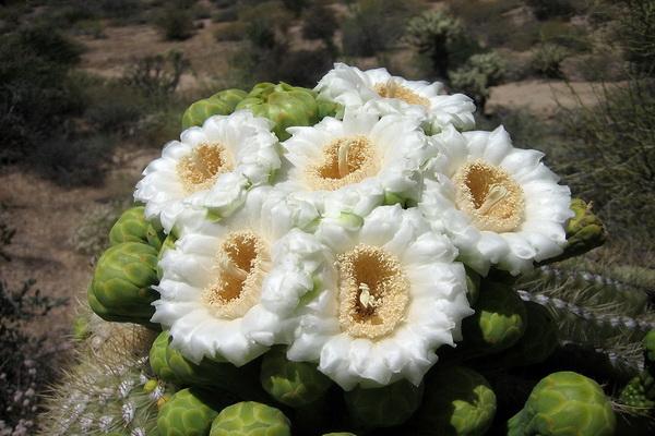 Чтобы собрать нектар из цветков растения к сагуаро прилетают пчелы. Употребление в пищу меда из кактусов, имеющего весьма специфический вкус, бодрит человека и наполняет радостью. Фото с сайта: bigpicture.ru