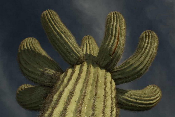 В пищу также можно употреблять плоды карнегии гигантской. Созревают они к середине лета и напоминают плоды лианообразных кактусов – питайи (или драконьего фрукта) с привкусом риса. Свежие и засушенные плоды сагуаро считают самыми вкусными из плодов кактусов. Фото с сайта: bigpicture.ru