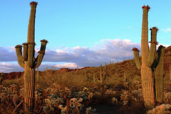 Из семян кактуса, богатых жирами, делают растительное масло. Фото с сайта: bigpicture.ru