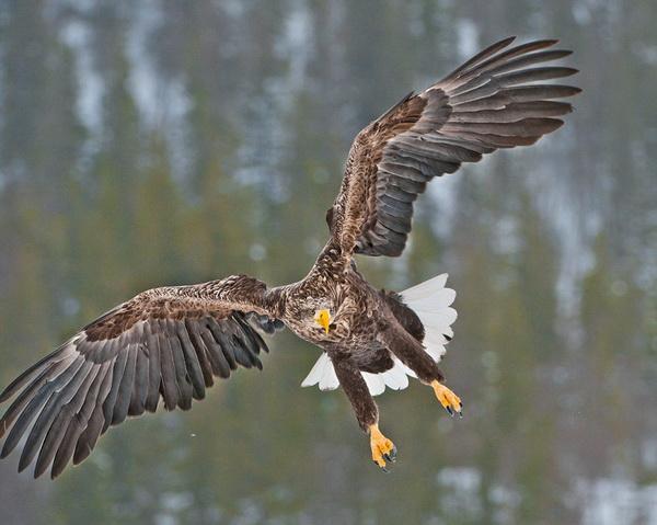 Удачную охоту отметил орлан-белохвост.  Этот хищник  несколько крупнее беркута. В Европе он считается четвертой по величине птицей среди хищных представителей пернатых. А желтый клюв орлана-белохвоста – едва ли не самый мощный среди пернатых хищников. С таким  грозным оружием  можно  попробовать  отобрать добычу. Фото: Ричард Костин