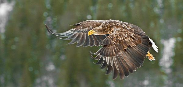 Демонстрация силы: орлан-белохвост  расправляет свои невероятно огромные крылья. Хоть орлан и сильнее  беркута, но ему требуется гораздо меньше пищи. В день ему  необходимо всего 500-600 граммов мяса. И по этой причине охотится он тоже меньше. Фото: Ричард Костин