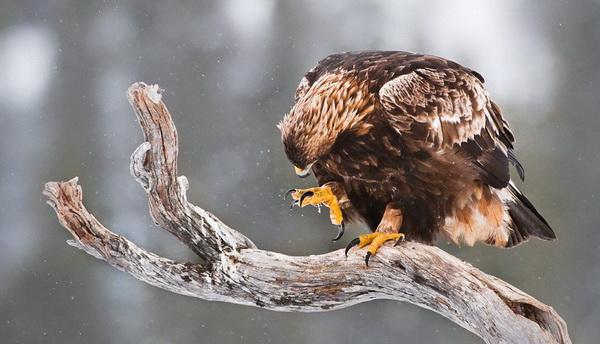 Теперь беркуту придется  снова искать добычу в зимнем заснеженном лесу. Иногда лучше остаться без обеда, чем получить травму и не иметь возможности добывать пищу в дальнейшем. Это равносильно смерти. Фото: Ричард Костин