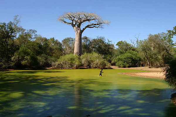 Существует удивительный гигант – баобаб. Фото с сайта: fotogeog.blogspot.com