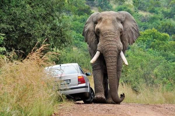 Слон-Годзилла на дороге: обогнал – протянешь ноги. Фото: trinixy.ru