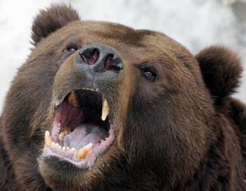 Медведи-людоеды растерзали рыбака на Камчатке. Фото: Alexander Nemenov/AFP/GEtty Images