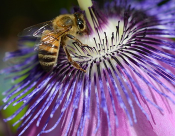 Медовые пчёлы обладают системой навигации, могут опознавать ландшафты и простые символы, выяснили учёные. Фото: JOE KLAMAR/AFP/Getty Images