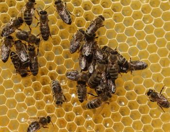 76 монахов в Таиланде подверглись нападению пчёл. Фото: Sean Gallup/Getty Images News
