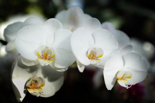 В оранжерее Уисли, к сожалению, нет всех 600 разновидностей  существующих орхидей.  Фото:  Peter Macdiarmid/Getty Images