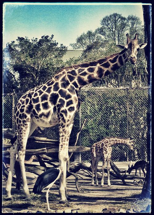 Жираф стоит в своём корпусе в зоопарке Хагенбек (Германия). Фото: Joern Pollex/Getty Images