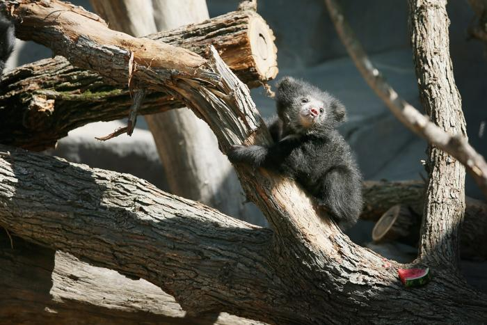 В зоопарке Чикаго представили 2 медвежат-ленивцев. Фото: Scott Olson/Getty Images