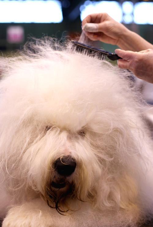 Лучшую собаку выбрали в шоу Crufts. Фото:  Rosie Hallam/Getty Images