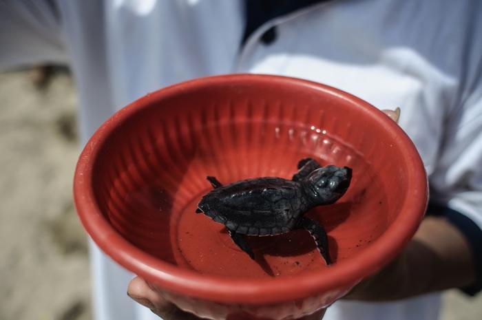 Жители и туристы Бали выпустили в море новое потомство морских черепах, содействуя спасению и сохранению вида. Фото: Putu Sayoga/Getty Images