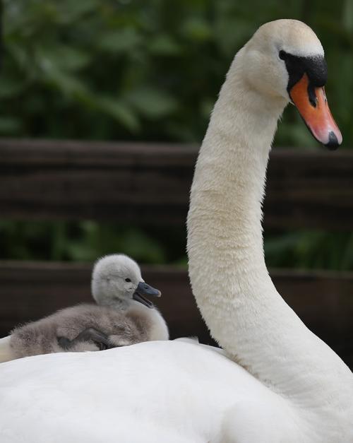 Лебеди-шипуны открыли летний сезон в Англии. Фото: Matt Cardy/Getty Images
