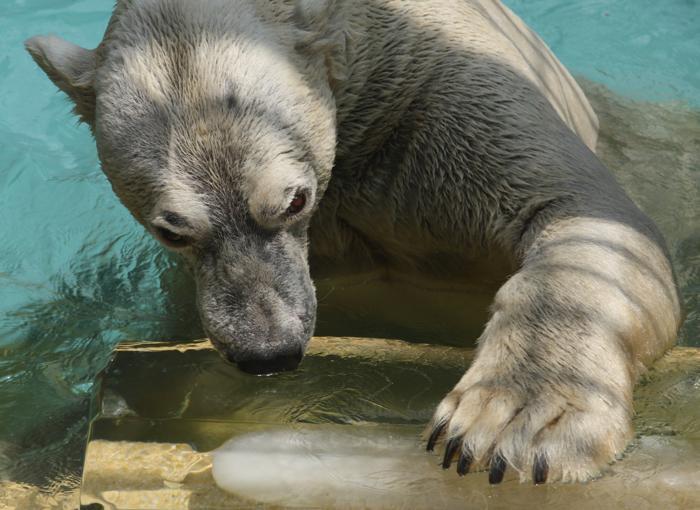Животные пытаются сохранить хладнокровие во время жары в японском зоопарке Химедзи 23 июля 2013 года. Фото: Buddhika Weerasinghe/Getty Images