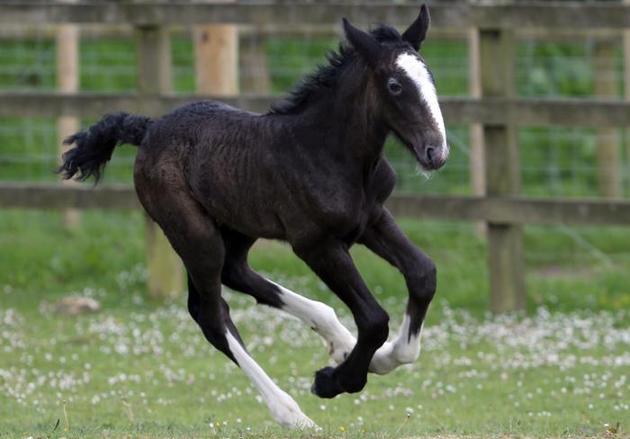 Жеребёнок редкой породы лошади «шайр» родился в Англии. Фото: Matt Cardy/Getty Images