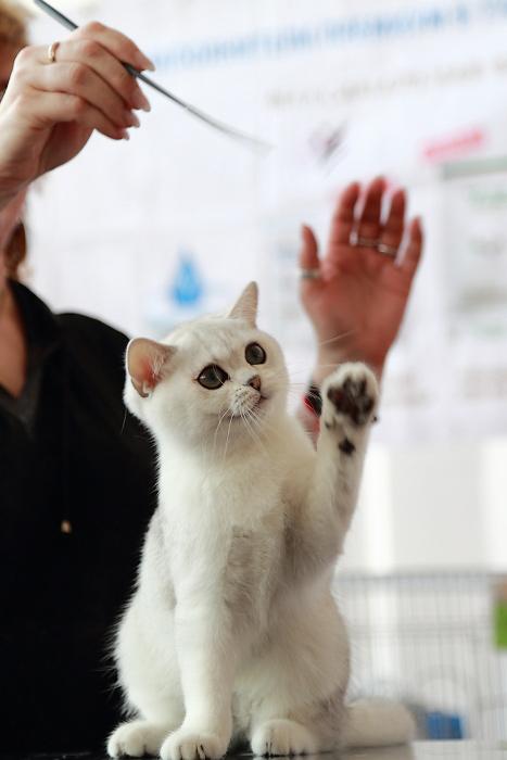 Выставка кошек «Весенний марафон 2013». Британская короткошерстная кошка. Фото: Сергей Кузьмин/Великая Эпоха (The Epoch Times)