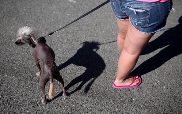 Фоторепортаж о конкурсе  «Самая уродливая собака в мире». Фото: Justin Sullivan/Getty Images