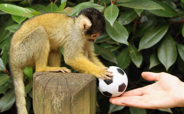 Фоторепортаж о боливийской обезьяне-белке Рол. Фото: Dan Kitwood/Getty Images