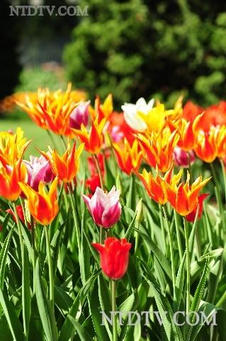 Фестиваль тюльпанов открылся в Швейцарии. Фото с .ntdtv.com