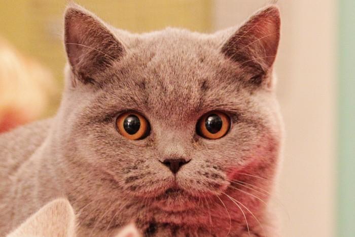 Выставка кошек RUI Cat Show. Город Краматорск, Украина. Ноябрь 2012 год. Фото: Илья Иванов/Великая Эпоха (The Epoch Times)