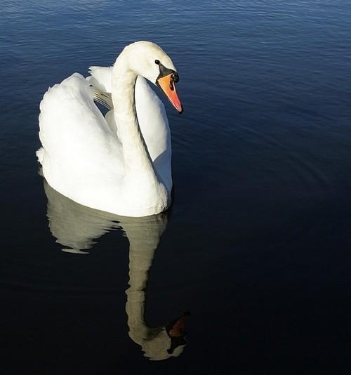 Лебеди. Фото: Илья Иванов/Великая Эпоха (The Epoch Times)