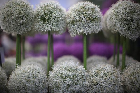 Выставка цветов Chelsea Flower Show в королевских садах, Фото: АнглииChristopher Furlong/Getty Images