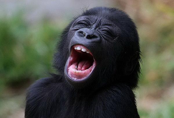 Как вас много! В глазах рябит! Полугодовалый детеныш гориллы по имени Хасани зевает во время своего первого появления на публике в зоопарке Сан-Франциско. Фото с сайта animalworld.com.ua