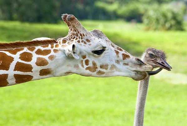 Какая ты маленькая! Но у тебя тоже длинная шея. Трехлетний жираф Беа лижет страусиху Вилму в Тампа Бэй. Фото с сайта animalworld.com.ua