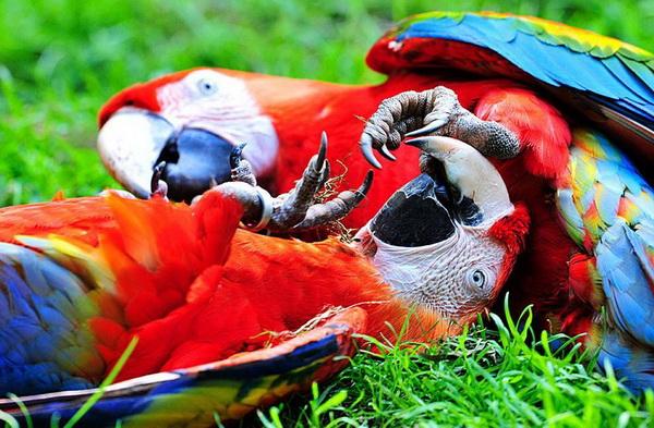 Как хорошо полежать на спине! А то все сидишь, да сидишь на жердочке – лапы устали. Два попугая ара во время брачного ритуала в вольере зоопарка в Германии. Фото с сайта animalworld.com.ua