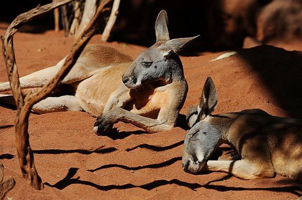 Хорошо отдыхать на теплом песке! Два австралийских красных кенгуру отдыхают на солнце в «Мире дикой природы Сиднея».Фото: Greg Wood/AFP/Getty Images