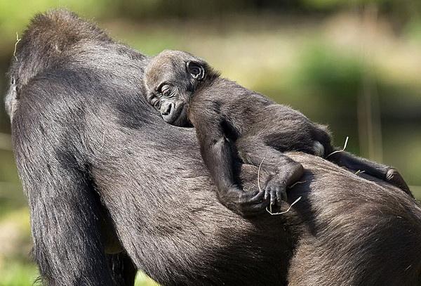 С мамой всегда уютно, даже спать! Детеныш гориллы спит на спине мамы в зоологической части парка в Каракасе, Венесуэла. Фото: Thomas Coex/AFP/Getty Images