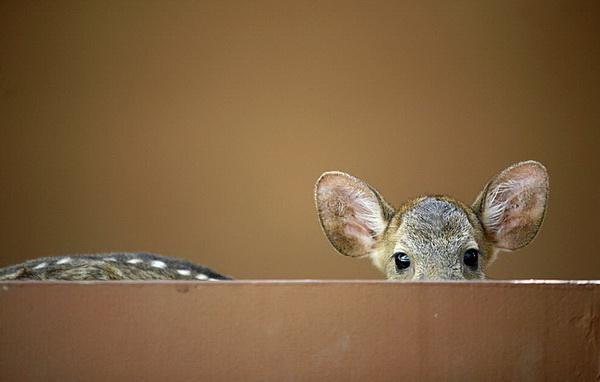 Ой, как интересно, но страшновато! Двухмесячная самка оленя по имени Маня выглядывает из своего вольера в Национальном зоопарке Куала-Лумпур. Фото с сайта animalworld.com.ua