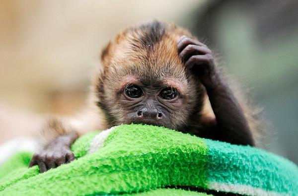 Что-то все мельтешит передо мной, ничего не понимаю! Золотистый капуцин Надуа чешет голову в зоопарке в Кёльне. Фото: Clemens Bilan/AFP/Getty Images