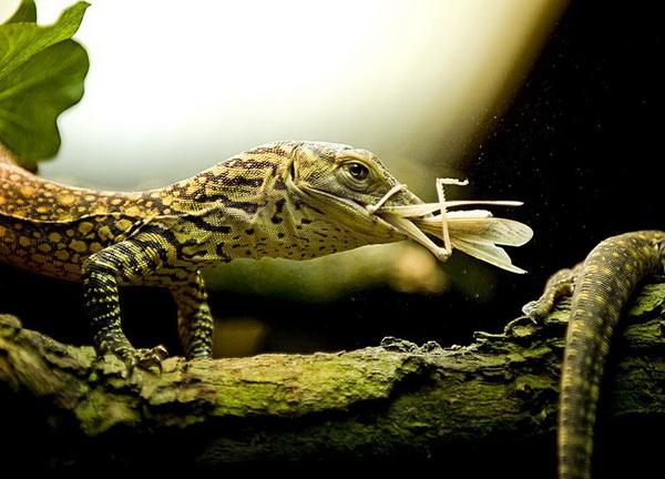 У меня обед! Наверно опять забыли вывеску повесить. Варан острова Комодо ест кузнечика в зоопарке Роттердама. Фото: Marten Van Dijl/AFP/Getty Images