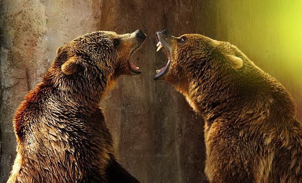 Чего зубы выставил? Иди, охладись в бассейне. Два гризли дерутся жарким днем в зоопарке Мадрида. Фото с сайта animalworld.com.ua