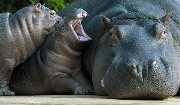 Мы такие красивые, прямо как статуэтки, только большие! Мама гиппопотам и ее малыши в вольере зоопарка в Берлине. Фото: Michael Gottschalk/AFP/Getty Images