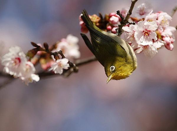 Сакура цветет, весна! Фью-фью… Японская белоглазка на ветке цветущей вишни в Национальном саду Токио. Фото с сайта animalworld.com.ua