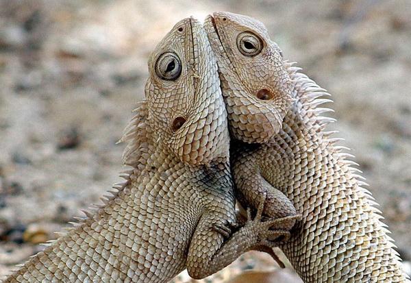 Вот такая у нас любовь! Две ящерицы в парке в Ахмедабаде. Фото с сайта animalworld.com.ua