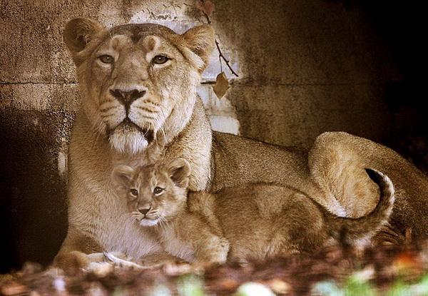 Мы знаем, что у нас царская кровь! Азиатский львенок и его мама Аби в своем новом вольере в Лондонском зоопарке. Фото: Dan Kitwood/Getty Images