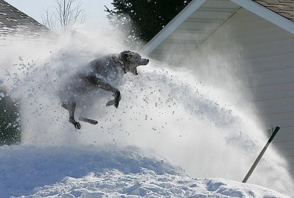Какой душ! Все блохи убегут. Собака по кличке Макс играет с потоками снега из снегоочистителя в Джеймстауне. Фото с сайта animalworld.com.ua